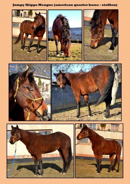 d0435185b1bd Aj v sezóne 2013 ponúkame pripúšťanie s plemenníkom american quarter horse  JUMPY SKIPPS MENGUS